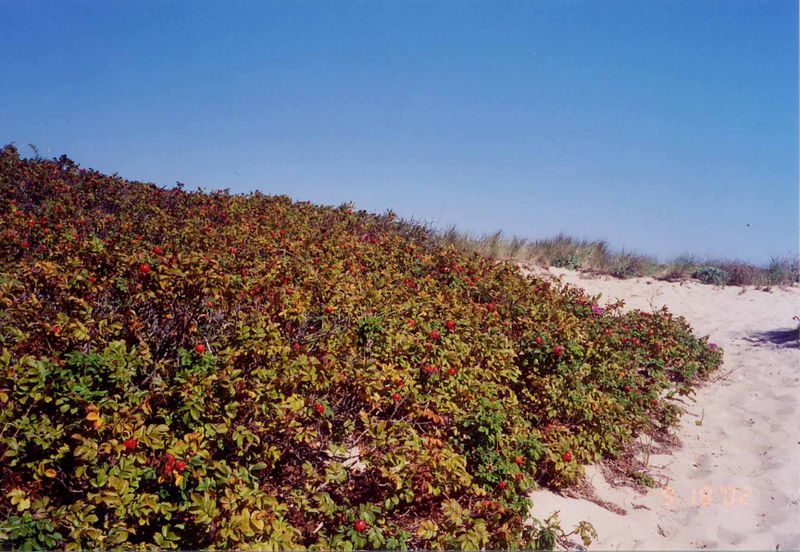Nantucket Rose hips, beach copy
