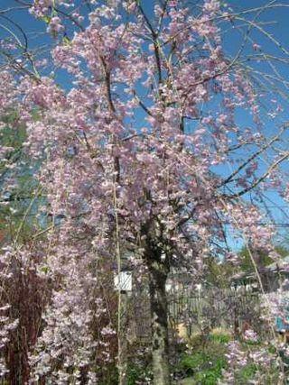 2010 cherry Tree, best - Web